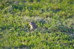 Adieu avec la marmotte d'Amérique du soleil Photographie stock