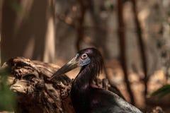 Adims Stork Ciconia abdimii Royalty Free Stock Photo