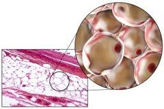 Adipocytes, micrographe et illustration 3D image libre de droits