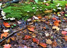 Adirondack groundcover. Post rain autumn leaves have fallen onto wet mosses in which white mushrooms grow stock photo