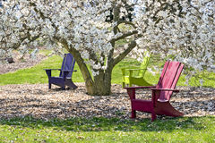 Adirondaks and Magnolia Tree. Three brightly colored adirondak chairs under a blossoming White Star Magnolia tree.  Sunny spring day Stock Photography
