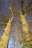 ADisley van beukbomen, Stockport, Park van de hemellyme van Darbyshire Englandgainst het blauwe Stock Afbeelding