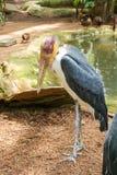 adjutant lesser stork Arkivfoto