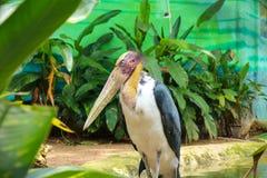 adjutant lesser stork Royaltyfri Fotografi