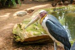 adjutant lesser stork Royaltyfri Foto