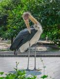 adjutant lesser stork royaltyfri bild