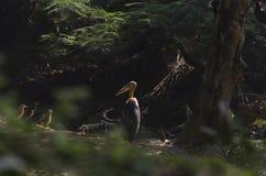 Birds resting under the tree. Adjutant stork resting under the tree during the winter season Stock Photos