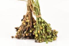 Adlay, Adlay millet, Job's tears, Millet (Coix lachryma-jobi. L.). Stock Images