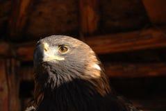 Adler lizenzfreies stockbild