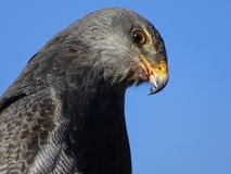 Adler #4 lizenzfreie stockfotos