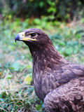 Adler Stockbilder