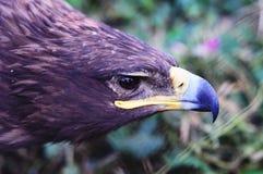 Adler Stockbild
