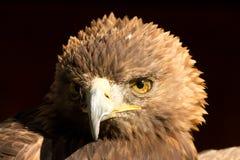 Adler Стоковая Фотография