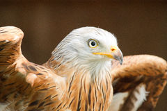 Adler Fotografie Stock Libere da Diritti