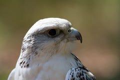 Adler Immagini Stock