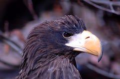 Adler 4 Stockbild