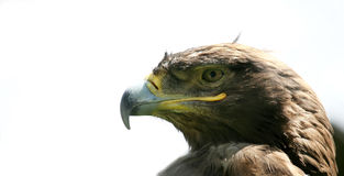 Adler #4 Lizenzfreie Stockfotografie