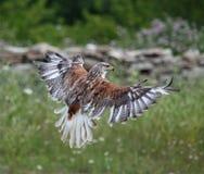 Adler Stockfoto