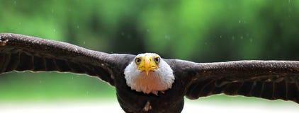 Adler-Angriff Stockbild