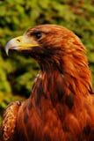 Adler (Aquila chrysaetos) Stockbilder