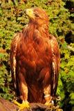 Adler (Aquila chrysaetos) Lizenzfreie Stockbilder