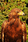 Adler (Aquila chrysaetos) Stockbild