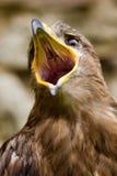 Adler - Aquila nipalensis Stockbilder