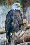 Adler auf dem Baum Lizenzfreie Stockbilder