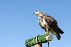 Adler auf dem blauen Himmel Lizenzfreies Stockbild