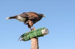 Adler auf dem blauen Himmel Stockbilder
