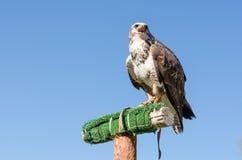 Adler auf dem blauen Himmel Lizenzfreie Stockfotografie