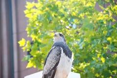 Adler auf dem Dach Stockbilder