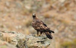 Adler auf dem Felsen Stockbild