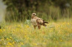 Adler auf dem Gebiet mit gelben Blumen Lizenzfreies Stockbild
