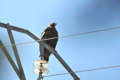 Adler auf dem Laternenpfahl Lizenzfreie Stockfotografie