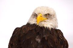 Adler auf dem Schnee Lizenzfreie Stockfotos