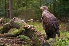 Adler auf dem Zweig Stockfoto