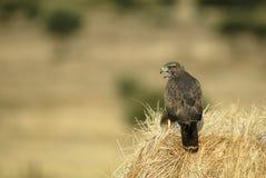 Adler auf einem Alpakaheu Stockfotos