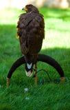 Adler auf einem Hintergrund des grünen Grases Stockbild