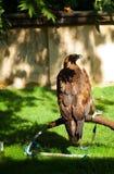Adler auf einem Hintergrund des grünen Grases Stockfotos