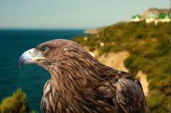 Adler auf einem Hintergrundmeerblick Stockbild