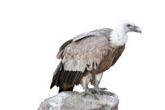 Adler auf einem Stein Stockfoto