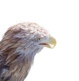 Adler auf einem weißen Hintergrund Stockfotografie