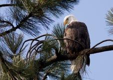 Adler auf einem Zweig. Lizenzfreie Stockfotos