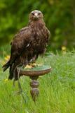 Adler auf einer grünen hölzernen Platte Lizenzfreies Stockbild