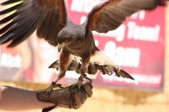 Adler auf Falkner-Hand Stockbild