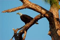Adler auf Warnung Lizenzfreie Stockfotos