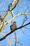 Adler auf Zweig Lizenzfreies Stockfoto