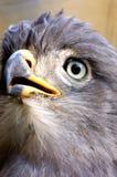 Adler-Auge Lizenzfreie Stockfotografie
