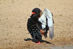 Adler, Bateleur - absoluter erstaunlicher Stolz Stockfotos